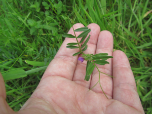 potential Vicia sativa ssp. nigra (purple vetch)
