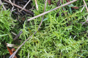 Neat Feather-moss (Pseudoscleropodium purum)