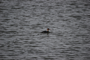 Red breasted merganser (Mergus serator)