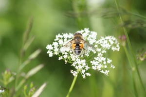 Hoverfly (Eristalis horticola)