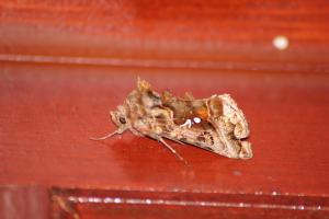 Beautiful Golden Y (Autographa pulchrina)