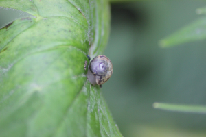 a Helicid Snail (Helicidae)