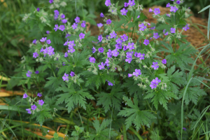 Wood Crane's-bill (Geranium sylvaticum)