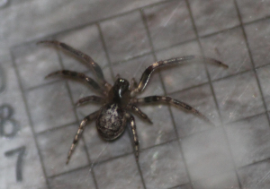 Missing-sector spider (Zygiella x-notata)