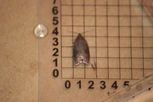 Ashy Button (Acleris sparsana)