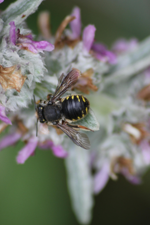 Wool-Carder Bee (Anthidium (Anthidium) manicatum)