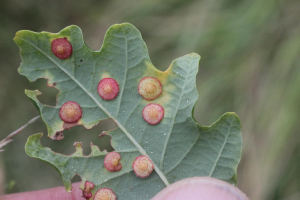 Common Spangle Gall (Neuroterus quercusbaccarum)