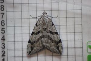 Treble-bar (Aplocera plagiata)