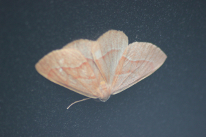 Barred Red (Hylaea fasciaria)