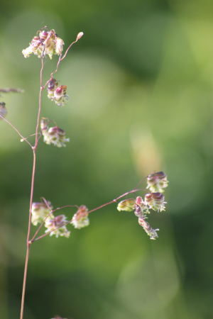 Quaking Grass (Briza media)