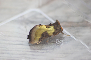 Burnished Brass (Diachrysia chrysitis f. juncta)