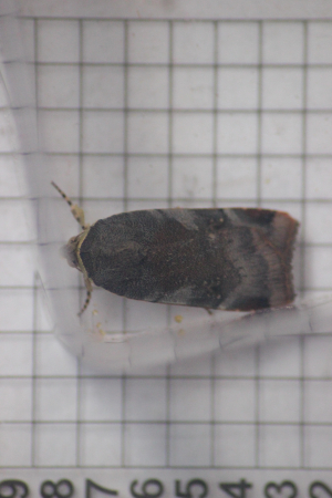 Lesser Broad-bordered Yellow Underwing (Noctua janthe)