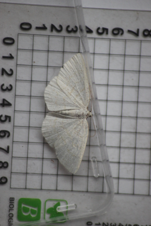 Common Wave (Cabera exanthemata)