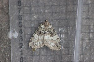 July Highflyer (Hydriomena furcata)