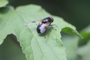 Great Pied Hoverfly (Volucella pellucens)