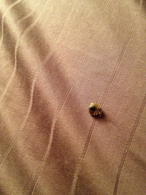 Possible Bed Bug