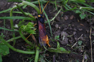 Noisy, yellow and black insect