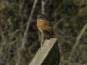 is this a redstart