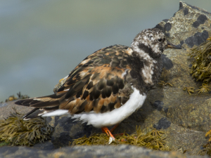 ringed plover or turnstone?