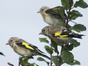 are these juvenile goldfinch