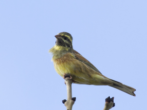 very tatty cirl bunting