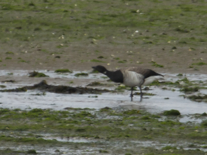 pale bellied brent