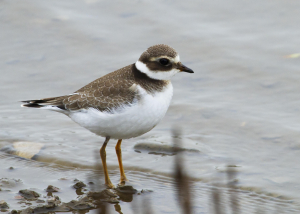 ringed plover coming into winter plumage