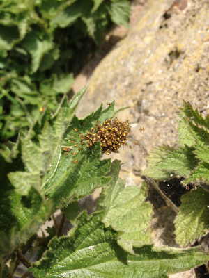 Help to identify these spiderlings