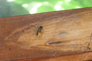 Digger wasps in wooden porch