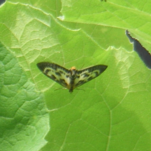 possible Small Magpie moth - poor pic
