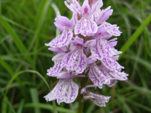 Common Spotted-Orchid