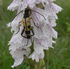 Black and Yellow Longhorn