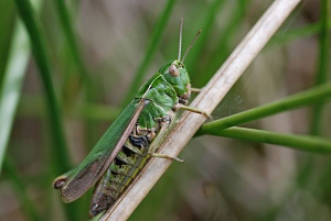 grasshopper common green 0608 c