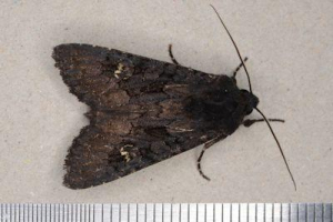 cabbage moth 4581