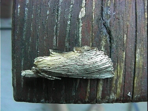 Pale Prominent (July 1999)