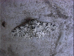 Peppered Moth (July 1999)