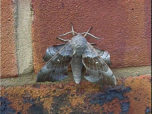 Poplar Hawk-moth (July 1999)
