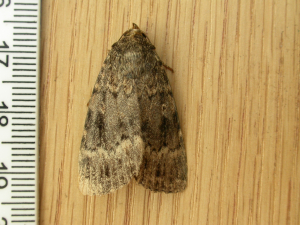 Svensson's Copper Underwing