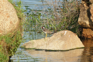 Red-wattled Lapwing (Hyderabad, India)