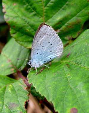 Female Holly blue