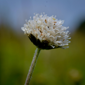 Devil's bit scabious - in white