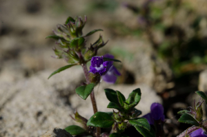 Flower growing in rocky ground on former quarry site