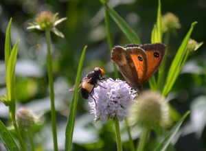 Hoverfly (Volucella pellucens - female) and Meadow brown