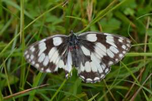 Marbled white with damage hind wing