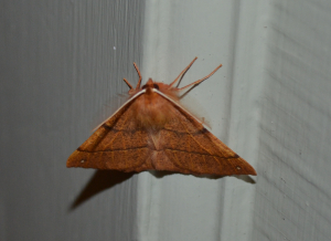 Feathered thorn moth - male