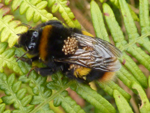 Bumblebee with Mites
