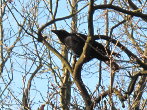 Carrion Crow - Linford Wood