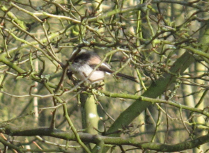 Long-Tailed Tit - Linford Wood