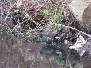 Moorhen - Linford Wood