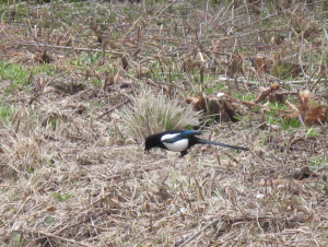 Magpie -Linford Wood